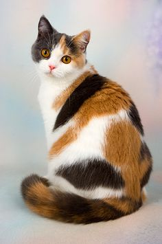 CAT 02 AL0041 01 - British Shorthair Calico Sitting On Seamless Studio - Kimballstock