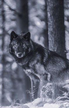 Black Wolf in forrest