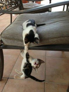 Brother!  Help me...Long...Live...the King.  (Kitten Lion King reenactment.)