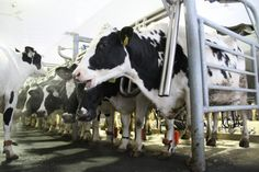 anaerobic digestion - a way to produce biogas from cow poop