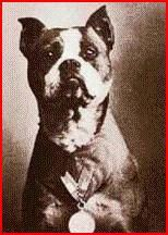 Stubby: America's first war dog was a Pit Bull named Stubby who earned several medals and the rank of sergeant for his service in W.W.I. He received a hero's welcome and was even honored at the White House. He inspired the U.S. Military K-9 Corps. He also went on to become Georgetown University's mascot.