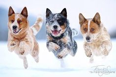 Cattle Dogs!