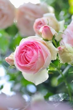#Rosierblanc #PierredeRonsard #Rosierbicolore #Parfum #Rose #Eden #Edenclimber #Romantique #Deco #Jardin #Bouquet Beautiful Rose Flowers, Pretty Roses, Love Rose, Beautiful Flowers, Flower Phone Wallpaper, Pink Garden, Good Morning Flowers, Rose Photos, Rose Cottage