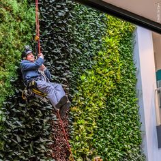 #SirDavidAttenborough opens new #conservation campus in #Cambridge by abseiling down the 15 metre living wall in the central atrium! The aptly named #DavidAttenborough building contains the largest grouping of #biodiversity conservation organisations (including FFI) and university researchers in the world. Read more: http://www.fauna-flora.org/news/sir-david-attenborough-opens-global-hub-for-nature-conservation/