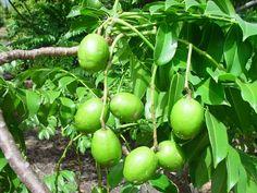Ambarella Fruit Tree-Caribfruits - Pomme cythère / Fruits des Antilles