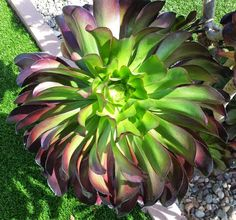 Geranium Street Floral - Google+Aeonium 'Cyclops'...Cyclops? Really...aahh, named for the Green Eye...find out more about this beauty, click pic