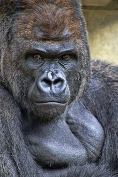 Primates, Jungle Animals, Animals And Pets, Cute Animals, Regard Animal, Types Of Monkeys, Gorilla Tattoo, Silverback Gorilla, Tatoo