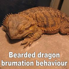 Why your Bearded dragon might be sleeping too much Bearded Dragon Vivarium, Bearded Dragon Enclosure, Bearded Dragon Terrarium, Bearded Dragon Funny, Bearded Dragon Cage, Bearded Dragon Habitat, Pet Lizards, Reptiles, Dragon Facts