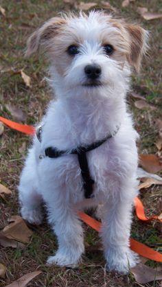 My sweet Jackapoo named Maylin (little warrior.)
