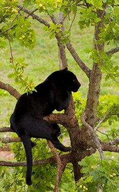Black Panther - Can't tell if this is a black leopard or black jaguar, but since it's in a tree, I'm pinning it on my Leopards board.