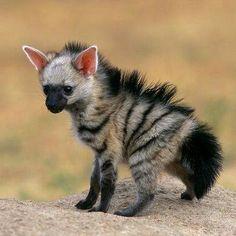 Baby Aardwolf (Proteles cristatus)