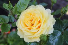 'Gripsholm' Rose, Flowers, Plants, Pictures, Pink, Plant, Roses, Royal Icing Flowers, Flower