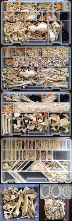 First key to productivity: organization. About half my sections are organized by animal, and half are just similar bones from various animals. I wish I would have organized by animal only from the. Animal Skeletons, Animal Skulls, Bone Crafts, Skeleton Art, Animal Bones, Wedding Art, Skull And Bones, Skull Art, Natural History