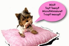 ravioli lasagna adorable-animals-that-are-too-cute Cute Little Animals, Little Dogs, Adorable Animals, Small Animals, Teacup Yorkie, Yorkie Puppy, Cute Puppies, Cute Dogs, Dogs And Puppies