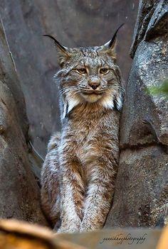 ~~Canada Lynx ~ (Lynx canadensis) by Yannik Hay ~~