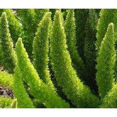 Foxtail Fern (Asparagus densiflorus 'myersii') - This cultivar is also often seen in the nursery trade as Asparagus meyeri, A. densiflorus Meyeri, Meyers, Myers or Myersii. In some countries, Asparagus densiflorus is considered an invasive weed. Nature Plants, Foliage Plants, Live Plants, Garden Plants, Asparagus Fern, Fern Plant, Trees To Plant, Foxtail Fern, Garden Design
