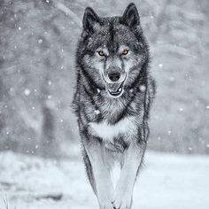 While I am a giving person, I have a hard time asking for help even more so accepting it. I felt guilty towards Ninja, because I… Wolf Images, Wolf Photos, Wolf Pictures, Arte Alien, Angry Wolf, Wolf Den, Wolf Tattoo Sleeve, Wolf Husky, Wolf Photography