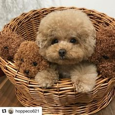 Everything About The Eager Poodle Dog Little Puppies, Cute Dogs And Puppies, I Love Dogs, Pet Dogs, Doggies, Cute Funny Animals, Cute Baby Animals, Animals And Pets, Cute Cats