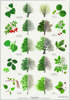 Trees poster - Trees posters posters with trees. Illustrated by Susanne Weitemeyer. Size: 42 x cm - Botanical Drawings, Botanical Illustration, Botanical Prints, Botanical Gardens, Leaf Identification, Poster Shop, Poster Poster, Orchid Show, Tree Leaves