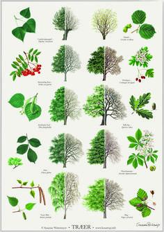 Trees poster - Trees posters posters with trees. Illustrated by Susanne Weitemeyer. Size: 42 x cm - Botanical Drawings, Botanical Illustration, Botanical Prints, Botanical Gardens, Arte Naturalista, Tree Leaf Identification, Landscape Design, Garden Design, Poster Shop