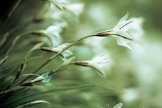 Green flower photo Papery flowers  tissuelike soft by sparksoffire