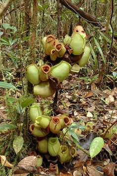 Nepenthes Ampullaria is a vegetarian carnivorous plant. Lidless bowls get most of the nutrition from falling debris.