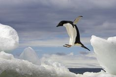 © RALPH LEE HOPKINS/National Geographic An Adelie penguin, Pygoscelis adeliae, jumping on an iceberg in Brown Bluff, Antarctic Peninsula, Antarctica. Christie's Boundless: 125 Years of National Geographic Photography National Geographic Fotos, National Geographic Photography, Penguin Breeds, Penguin Species, Wild Life, Art Vinyl, Penguin Pictures, Penguin Images, Mundo Animal