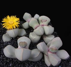 Lapidaria margarethae