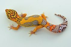 GeckoBoa Reptiles - Red Stripe Bell - Anita Smith Home Lepord Gecko, Leopard Gecko Cute, Leopard Gecko Morphs, Cute Gecko, Leopard Gecko Habitat, Cute Reptiles, Reptiles And Amphibians, Fat Tailed Gecko, Colorful Lizards