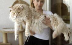 gato grande maine coon