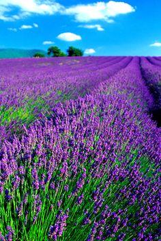 Provence -- lavande