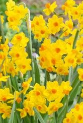 Narcissus Grand Soleil D'or - Daffodil Bulbs Narcissus Bulbs, Daffodil Bulbs, Daffodils, Perennial Bulbs, British Garden, Spring Sign, Spring Garden, Stems, Shrubs