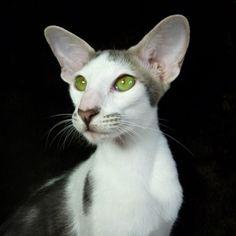 Lexacats Orientalen - Orientalisch Kurzhaar Katzen und Siam - kleine liebevolle Hobbyzucht in der Nähe von München - Orientalischen Kurzhaar...