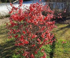 Chaenomeles, Shrubs, Planters, Flowers, Red, Gardening, Japanese, Drink, Decoration
