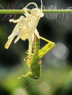 Near eye exotic grasshopper molt