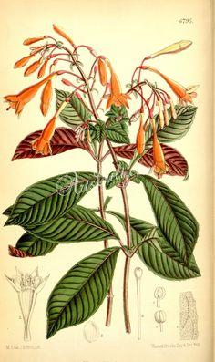6795-fuchsia triphylla      ...