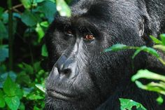 Why responsible tourism is the key to saving the mountain gorilla - Mountain gorilla. Photo by: Nick Hoggett.