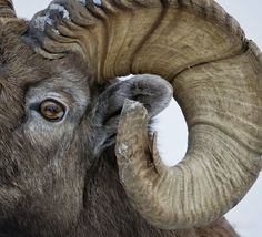 Magnificent horned animals list from around the world. Animals with horns are cool so you won't to miss them. Full picture image of big longhorn animals. List Of Animals, Animals Of The World, Animals And Pets, Farm Animals, Wild Creatures, Woodland Creatures, Animals With Horns, Chamois, Wooly Bully