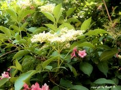 Hollunderblüte