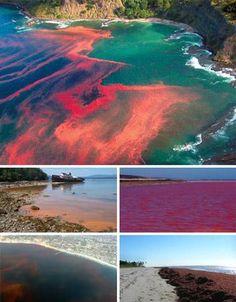 La gran marea roja, también llamada floraciones de algas, son en realidad una gran cantidad de algas unicelulares de profuso color rojo que proliferan en las aguas costeras y causan una coloración roja en la superficie acuática. Muchas de estas algas son inocuas, pero lo cierto es que aumentan las sustancias toxicas en el mar, lo que provoca la muerte de cientos de peces, aves y otros animales mamíferos. Al mismo tiempo, los seres humanos también sufren de forma indirecta este fenómeno, ya…