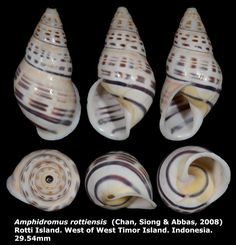 Dr. Lee's Gallery Museum: Amphidromus rottiensis 29.54mm
