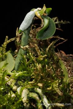 White Orchid BiOrbAir Terrarium Trial (part four) - Pumpkin Beth