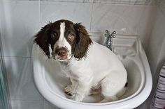 There is an English springer spaniel in my sink. #springer
