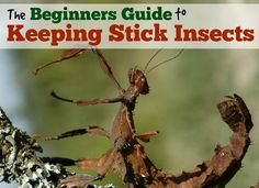 How to look after stick insects