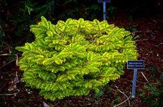 Abies nordmanniana `Golden Spreader' - Stanley and Sons Nursery Seedlings, Plants, Abies, Conifers Garden, Herbs, Leaves, Conifers, Growing, Garden