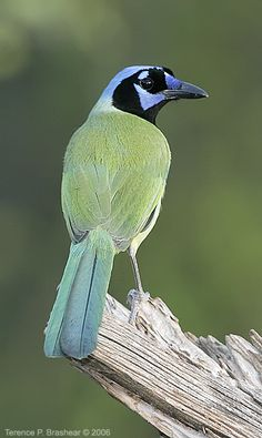 Green Jay - ranges  from southern Texas south into Mexico and Central America, with a break before the species reappears in a broad sweep across the highlands of South America.