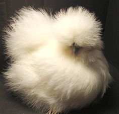 cute silkie chicken - we just got 2 yesterday!