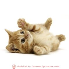 Как сделать домик для кошки своими руками - Питомник Elite British