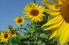 How to grow sunflowers and what not to do...also there is good info on cleaning birdbaths and feeders.