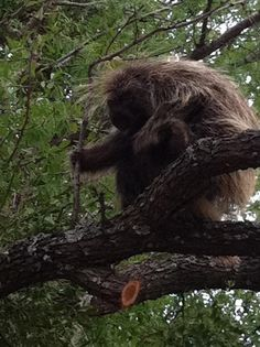 Porcupine in a tree at Enchanted Rock State Park near Fredericksburg